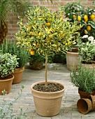 Calamondin tree, Citrus mitis 'Calamondin Variegata'