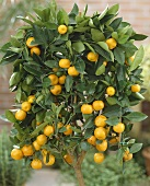Small calamondin tree