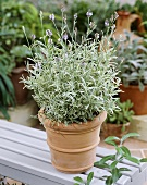 Lavender 'Walberton's Silver Edge' in pot