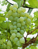 Green table grapes, variety 'Golden Champion'