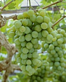 Muscat table grapes