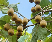 Kiwi fruit on the branch (Actinidia deliciosa)