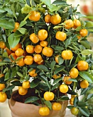 Small mandarin orange tree (Calamondine)