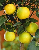Small grapefruit tree with fruit