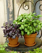 Red and green basil in pots