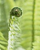 Eingerolltes, junges Straussenfarnblatt (Matteuccia Struthiopteris)