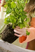 Mädchen pflanzt Kräuter (Zitronenmelisse) um