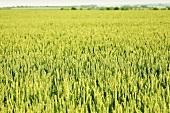 A green wheat field in summer