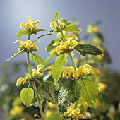 Yellow dead-nettle