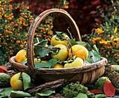 Korb mit Apfelquitten, Blättern, Moos und Rinde im Freien