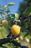 Gelbe Pflaumen am Baum