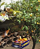 Small orange tree and a crate of oranges in a garden