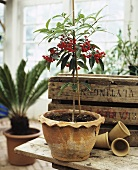 Small tree with red berries in flowerpot