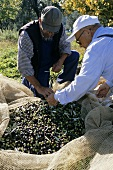 Two men picking olives in Tuscany, Italy