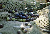 Fresh olives in a net