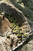 Freshly harvested olives in nets and baskets (Italy)
