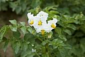 A flowering potato plant