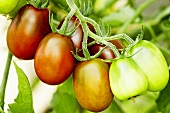 'Black Plum' organic tomatoes