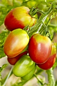 A 'Rote Zora' organic tomato
