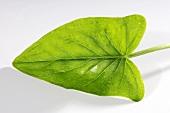 A wild arum leaf (arum maculatum)