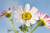 Mountain atlas daisies (anacyslus pyrethrum)