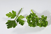 Common parsley and flatleaf parsley