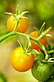 Organic yellow tomatoes