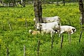 Charolais cows in a field