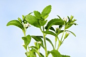 Sweet leaf (stevia rebaudiana)