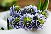 Blue sweet clover (trigonella caerulea)