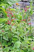 Pineapple sage (salvia rutilans)