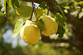 Two quinces in a tree