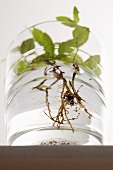 A peppermint plant in a glass of water