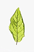 A fried mint leaf