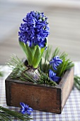 Blue hyacinths in a wooden box