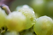 Wet Riesling grapes
