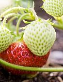 Green and red strawberries on the plant