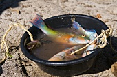 Parrotfish in a bowl of water