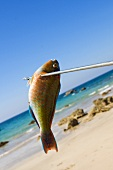 A speared parrot fish on the beach