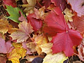 Autumnal oak leaves (macro zoom)