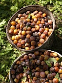 Freshly harvested mirabelles in buckets