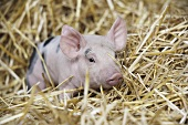 A piglet in straw