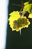 Green grapes in the sunlight