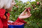 A woman picking raspberries