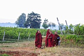 Oriental monks in a vineyard