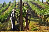 Workers in an oriental vineyard