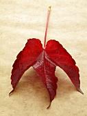 A red vine leaf