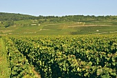 Vineyards in the grape growing region of Côte de Beaune