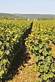 Vines in the sun: Pernand Vergelesses