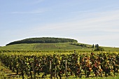Grape growing region Pernand-Vergelesses